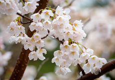 Cherry blossom in a rainy day. Stock Photography