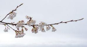 Cherry blossom in a rainy day Stock Photography