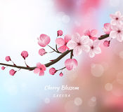 Cherry blossom realistic vector, blur background Royalty Free Stock Photography