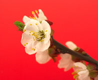 Cherry blossom on red Royalty Free Stock Images