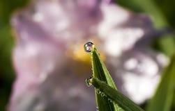 Cherry Blossom Refraction na gota da água foto de stock royalty free