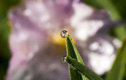 Cherry Blossom Refraction in Water Drop. A pink cherry blossom refracts into a perfect water droplet on the tip of a blade of grass Royalty Free Stock Photo