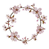 Cherry Blossom Ring. Isolated cherry blossom branch in circle shape Royalty Free Stock Photos