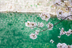Cherry blossom by the River Stock Photography