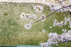 Cherry blossom by the River Royalty Free Stock Images