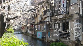 Cherry blossom on river side in Kyoto. stock video