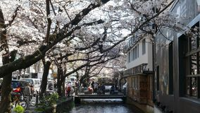 Cherry blossom on river side in Kyoto. stock footage