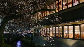 Cherry blossom on river side in Kyoto. stock video footage