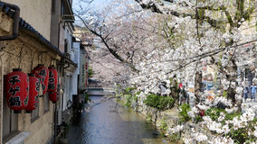 Cherry blossom on river side in Kyoto. Royalty Free Stock Photo