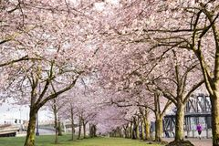 Cherry Blossom Road Photographie stock