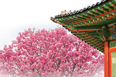 Cherry Blossom with roof of temple in spring. Cherry Blossom with roof of temple in spring korea Royalty Free Stock Images