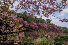 Cherry Blossom rosado Fotos de archivo