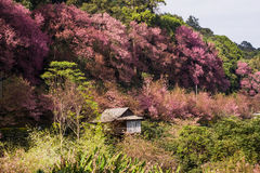 Cherry Blossom rosado Fotos de archivo libres de regalías
