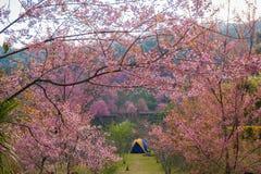 Cherry Blossom rosado Imagen de archivo libre de regalías