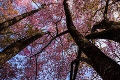 Cherry Blossom rosado Imágenes de archivo libres de regalías