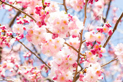 Cherry Blossom rose Photo stock