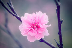 Cherry Blossom rose Photo libre de droits