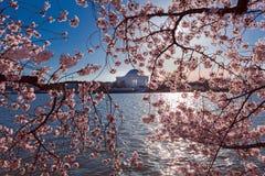 Cherry Blossom rose au bassin de marée pendant le festival annuel dans le Washington DC avec Thomas Jefferson Memorial à l'arrièr images libres de droits