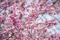 Cherry Blossom stock foto's
