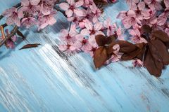 Cherry blossom on rustic wooden backkground. Spring cherry blossom on blue rustic wooden backkground Stock Photo