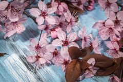 Cherry blossom on rustic wooden backkground. Spring cherry blossom on blue rustic wooden backkground Royalty Free Stock Images