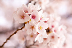 Cherry Blossom - sakura. Cherry Blossom(sakura) in South Korea Royalty Free Stock Photos