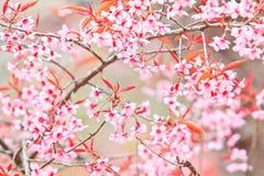 Cherry Blossom or sakura Royalty Free Stock Photos