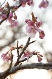 Cherry blossom Sakura Stock Images