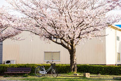 Cherry blossom (Sakura) and a bench,bike in a park. Cherry blossom (Sakura) and a bench, bike in a park of Japan royalty free stock photography