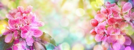 Cherry Blossom Sakura blommor Abstrakt suddig bred bakgrund Arkivfoto