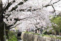 Cherry blossom or Sakura blooming Stock Photography