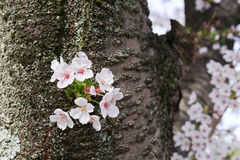 Cherry blossom or Sakura blooming Stock Photos