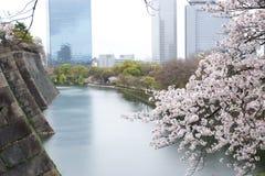 Cherry blossom or Sakura blooming Royalty Free Stock Photo