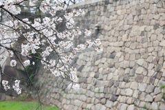 Cherry blossom or Sakura blooming Stock Photo