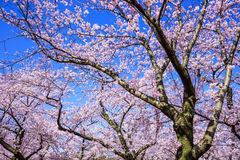 Cherry blossom (sakura) on blue Sky, Japan Royalty Free Stock Image
