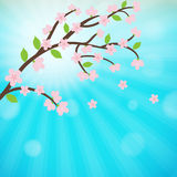 Cherry blossom, sakura branch with  flowers. Royalty Free Stock Image