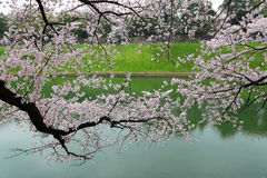 Cherry blossom sakura branches near river. Stock Images