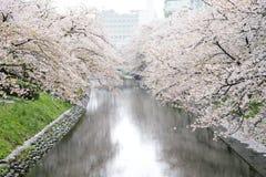 Cherry Blossom Stock Photos