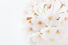 Cherry blossom sakura Royalty Free Stock Images