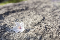 A cherry blossom (sakura) dropped on ground Royalty Free Stock Image