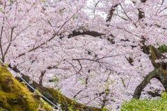 Cherry Blossom Sakura en parc de Chidorigafuchi, Tokyo, Japon photo libre de droits