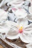 Cherry blossom sakura flower Stock Image