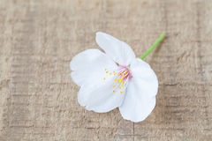 Cherry blossom sakura flower Royalty Free Stock Image