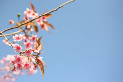 Cherry blossom ,sakura flower in blue sky Stock Images