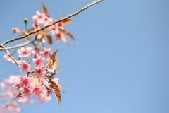 Cherry blossom ,sakura flower in blue sky Stock Images