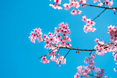 Cherry blossom or  Sakura flower with blue sky Royalty Free Stock Photos