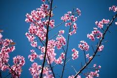 Cherry blossom or  Sakura flower with blue sky Royalty Free Stock Image