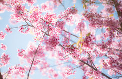 Cherry blossom or  Sakura flower with blue sky Royalty Free Stock Photo