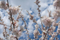 Cherry blossom or  Sakura flower with blue sky and clouds.  Royalty Free Stock Images