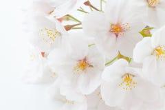 Cherry blossom sakura flower Royalty Free Stock Photography
